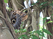 HEVi FineArt - Owl Butterfly in Hiding