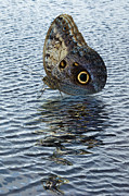 Jane Mcilroy Posters - Owl Butterfly on Water Poster by Jane McIlroy