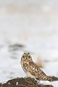 owl Print by Dragomir Felix-bogdan