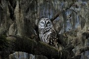 Eagle  Finegan  - Owl in Spanish Moss
