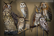 Owls Drawings - Owls - Show-Case Collection - Chouettes - Hiboux - Lechuzas - Mochos - Strigiformes Strigidae by Urft Valley Art