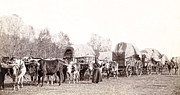 Wagon Train Photos - OX-DRIVEN WAGON FREIGHT TRAIN c. 1887 by Daniel Hagerman