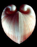 Shell Prints - Ox Heart Clam Color Print by William A Conklin