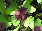 Jem Fine Arts Prints - Oxalis Deppei named Iron Cross Print by J McCombie