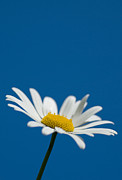 Asteraceae Photos - Oxeye by Anne Gilbert