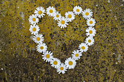 Oxeye Daisy Heart Print by Tim Gainey