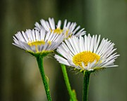 Vulgare Framed Prints - Oxeye Daisy Framed Print by Steve Harrington