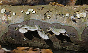 Peeling Bark Prints - Oyster Mushrooms  Print by Shawna  Rowe