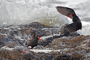 Tim Moore - Oystercatchers at...