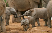 Baby Animals Photos - Pachyderm Pals by Bruce J Robinson
