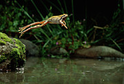 Pacific Chorus Frog Framed Prints - Pacific Chorus Frog Jumping Framed Print by Michael Durham