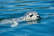 Featured On Fineart America - Pacific Harbor Seal by Sean Griffin