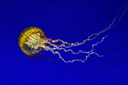 Mark Kiver Prints - Pacific Sea Nettle Print by Mark Kiver