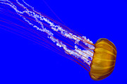Pulsating Posters - Pacific Sea Nettle Poster by Nick  Boren