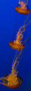Jellyfish Photos - Pacific Sea Nettles in a row by Scott Campbell