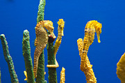 Pacific Seahorses Hippocampus Ingens Are Among The Giants Of Their World Print by Jamie Pham