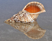 Seashell Art Prints - Pacific Triton Print by Josephine Cohn