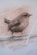 Wren Drawings - Pacific Wren by Jan Lowe