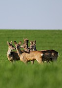 Dragomir Felix-bogdan Art - Pack Of Roe Deer by Dragomir Felix-bogdan