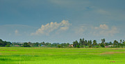 Job - Barber Photo Originals - Paddy Fields by Izwan Amrul