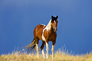 Wild Horse Posters - Paint Filly Wild Mustang Poster by Rich Franco