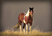 Wild Horse Metal Prints - Paint Filly Wild Mustang Sepia Sky Metal Print by Rich Franco