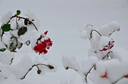 Roses Prints - Paint in the snow Print by Mila Andretich