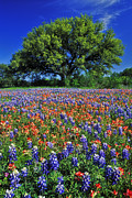 Live Oak Tree Prints - Paintbrush and Bluebonnets - FS000057 Print by Daniel Dempster