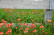 Texas Wild Flowers Prints - Paintbrushes and Fence Posts Print by Brian Harig