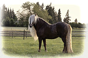 Forelock Photos - Painted Black Forest Stallion D0749 by Wes and Dotty Weber