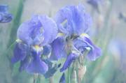 Jenny Rainbow - Painted Blue Irises 1