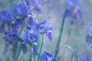 Jenny Rainbow - Painted Blue Irises