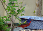 Bunting Originals - Painted Bunting 5 by Steve Griffin