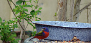 Bunting Originals - Painted Bunting 6 by Steve Griffin