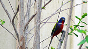 Bunting Originals - Painted Bunting 7 by Steve Griffin