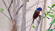Bunting Originals - Painted Bunting 8 by Steve Griffin