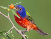 Texas Wildlife Print Art - Painted Bunting Eating Fruit by Jerry Fornarotto