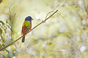 Passerine Framed Prints - Painted Bunting in Spring Framed Print by Bonnie Barry