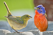 Bonnie Barry - Painted Bunting Pair