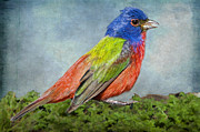 Bonnie Barry Art - Painted Bunting Portrait by Bonnie Barry