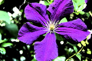 Stamen Digital Art Framed Prints - Painted Clematis Framed Print by Christiane Schulze