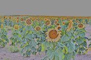 Grow Digital Art - Painted fields of Summer Sunflowers by Janice Rae Pariza