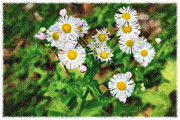 John Haldane Prints - Painted Fleabane Print by John Haldane