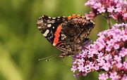 Rosanne Jordan - Painted Lady Butterfly