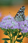 Painted Details Posters - Painted Lady Butterfly Poster by Tammy and Dale Anderson