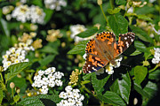 Painted Lady Butterflies Prints - Painted Lady Print by Skip Willits