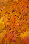 Linda Knorr Shafer - Painted Leaves of Autumn
