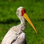 Nick  Biemans - Painted Stork