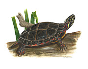 Reptile Paintings - Painted Turtle by Cindy Hitchcock