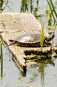 Wisconsin Art - Painted Turtle in Horicon Marsh by Natural Focal Point Photography